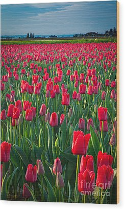 Sea Of Red Tulips Wood Print by Inge Johnsson