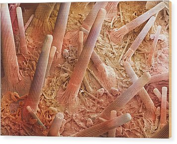 Sea Urchin Spines, Sem Wood Print by Power And Syred