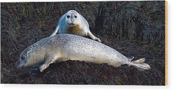 Seal Massage 5662 Wood Print by Brent L Ander