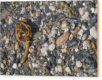 Seaweed And Shells Wood Print by Steven Ralser