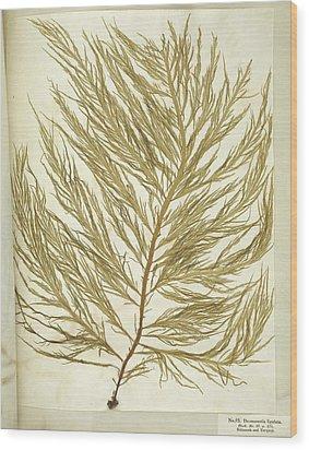 Seaweed (desmarestia Ligulata) Wood Print by Science Photo Library