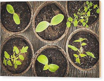 Seedlings Growing In Peat Moss Pots Wood Print by Elena Elisseeva