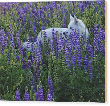 Wood Print featuring the photograph Sekani In Lupine by Sean Sarsfield