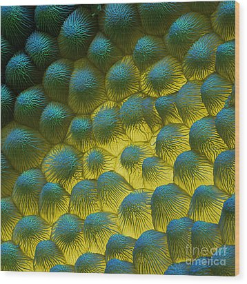 Sem Of Rapeseed Flower Wood Print by Eye of Science