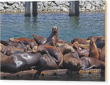 Sentry Sea Lion And Friends Wood Print