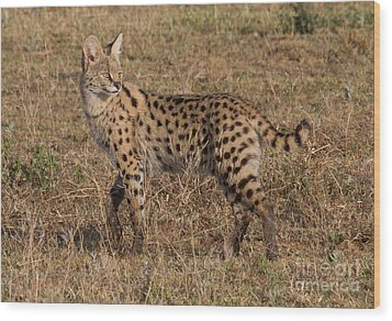 Serval Cat 3 Wood Print by Chris Scroggins