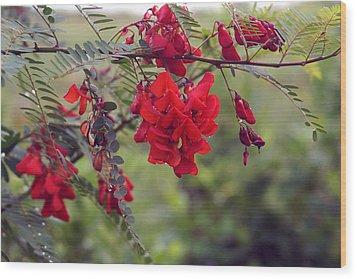 Sesbania Punicea Wood Print