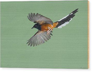 Shama Thrush In Flight Wood Print
