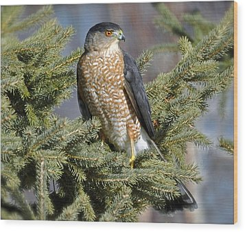 Sharp Shinned Hawk Wood Print by Rodney Campbell