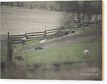 Sheep Life Wood Print by Graham Foulkes