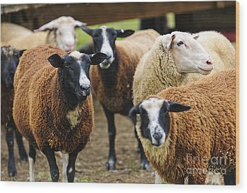 Sheep On A Farm Wood Print by Elena Elisseeva
