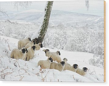 Sheltering Flock Wood Print by John Kelly