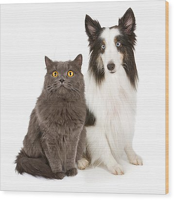 Shetland Sheepdog And Gray Cat Wood Print by Susan Schmitz