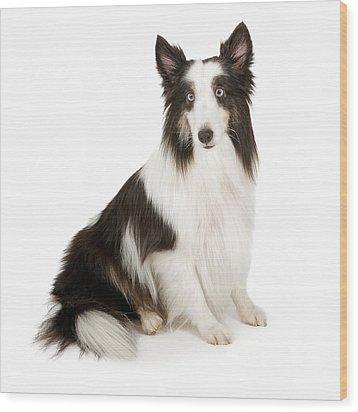 Shetland Sheepdog With Blue Eyes Stock Photo  Wood Print by Susan Schmitz