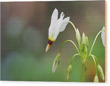 Shooting Star Wildflower Wood Print by Melinda Fawver