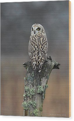 Short Eared Owl Perched Wood Print by Daniel Behm