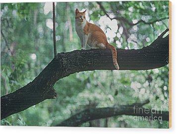 Shorthair Cat Wood Print by James L. Amos