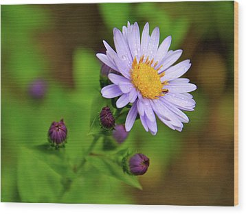 Showy Aster Wood Print by Ed  Riche
