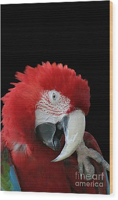 Shy Macaw Wood Print by Judy Whitton