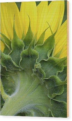 Shy Sunflower Wood Print by Nancy De Flon