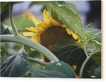 Wood Print featuring the photograph Shy Sunflower by Wayne Meyer