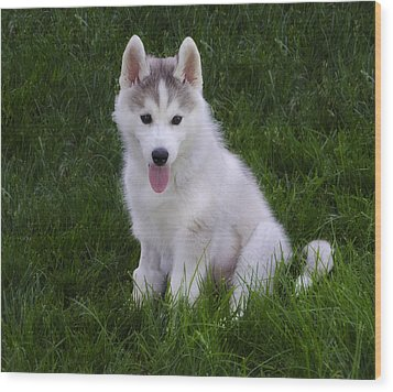 Siberian Huskie Pup Wood Print by Bill Cannon