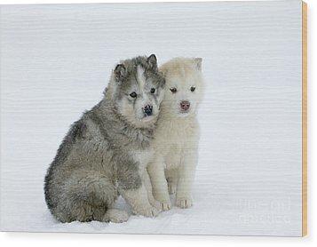 Siberian Husky Puppies Wood Print by M. Watson