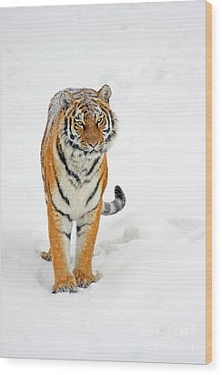 Siberian Tiger Animal Wood Print by Boon Mee