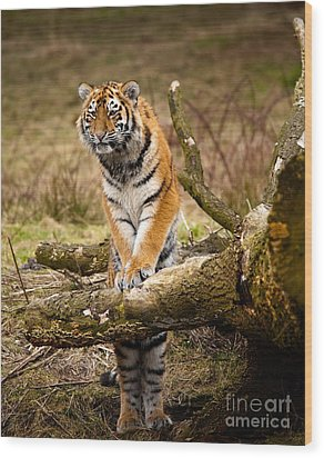Siberian Tiger Wood Print by Boon Mee