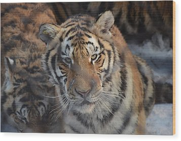 Siberian Tiger Wood Print by Brett Geyer