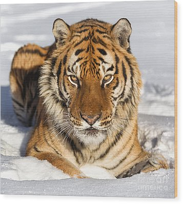 Siberian Tiger Face To Face Wood Print by Jerry Fornarotto