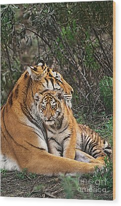 Siberian Tiger Mother And Cub Endangered Species Wildlife Rescue Wood Print