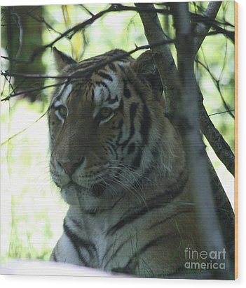 Siberian Tiger Profile Wood Print by John Telfer