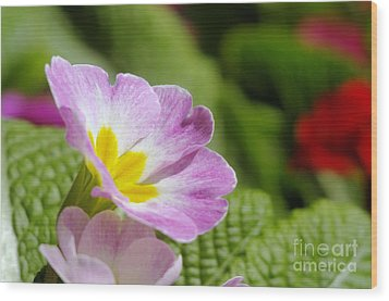 Side View Of A Spring Pansy Wood Print by Jeff Swan