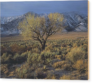 Sierra Sunlit Tree Wood Print