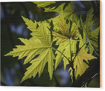 Silver Maple Wood Print by Ernie Echols