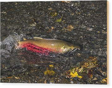 Silver Salmon Spawning Wood Print