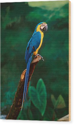 Singapore Macaw At Jurong Bird Park  Wood Print by Anonymous