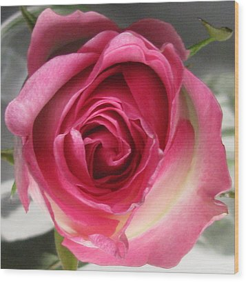 Wood Print featuring the photograph Single Pink Rose by Margaret Newcomb