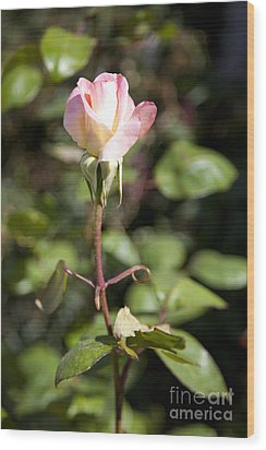 Single Rose Wood Print by David Millenheft