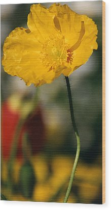 Single Yellow Poppy Wood Print