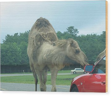 Six Flags Great Adventure - Animal Park - 121226 Wood Print by DC Photographer