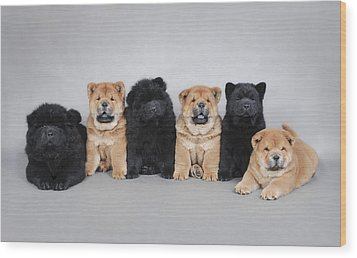 Six Little Chow Chow  Puppies Portrait Wood Print by Waldek Dabrowski