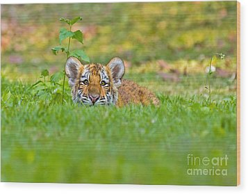 Sizing Up The Situation Wood Print by Ashley Vincent