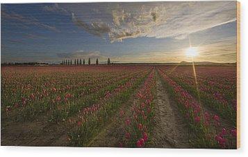 Skagit Tulip Fields Sunset Wood Print by Mike Reid