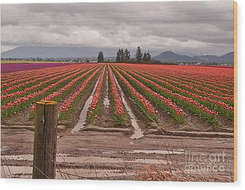 Skagit Valley Tulip Farmlands In Spring Storm Art Prints Wood Print by Valerie Garner