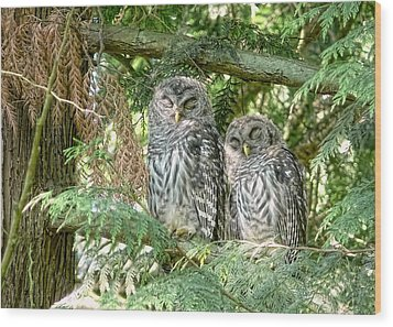 Sleeping Barred Owlets Wood Print by Jennie Marie Schell