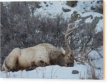 Sleeping Elk Wood Print