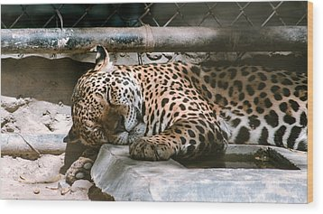 Sleeping Leopard Wood Print by Gautam Gupta