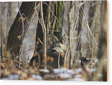 Sleeping Roe Deer Wood Print by Dragomir Felix-bogdan